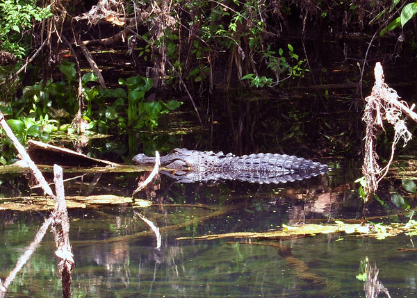 Places in Florida to View Wild Alligators: Hillsborough River State Park
