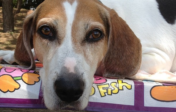 Meet the breed American Foxhound