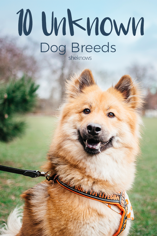 Pin it! 10 Unknown dog breeds