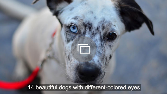 14 beautiful dogs with different-colored eyes