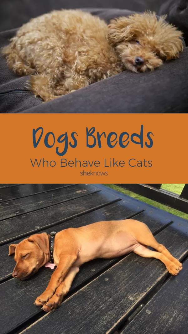 Pin it! 10 dog breeds that behave like cats