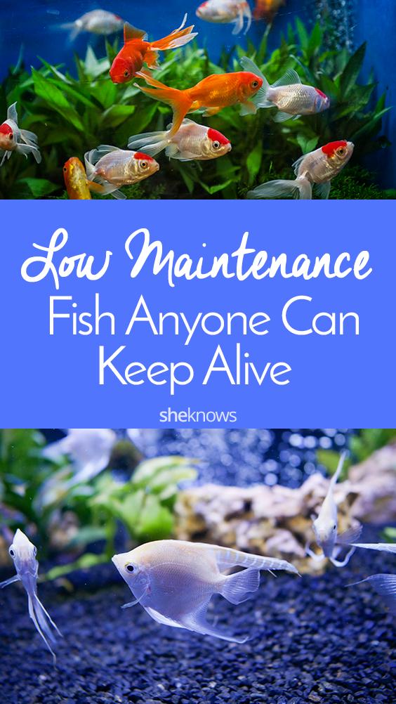 Pin it! 6 Low-Maintenance Pet Fish
