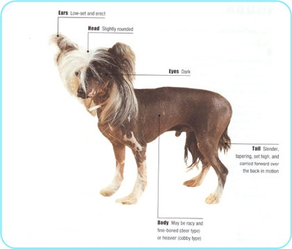 Meet the Chinese Crested breed