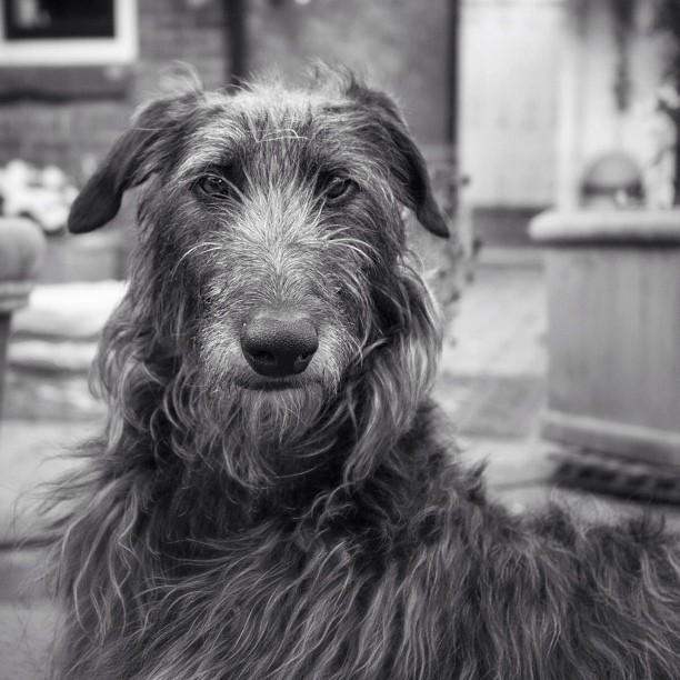 Meet the Scottish Deerhound