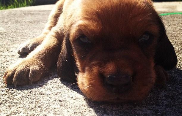 Meet the breed Redbone