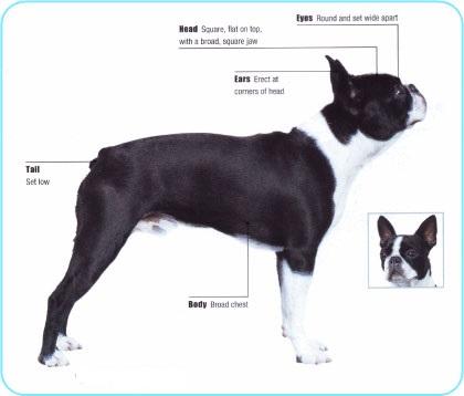 Meet the Boston Terrier