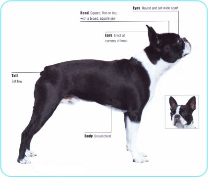 Meet the Boston Terrier