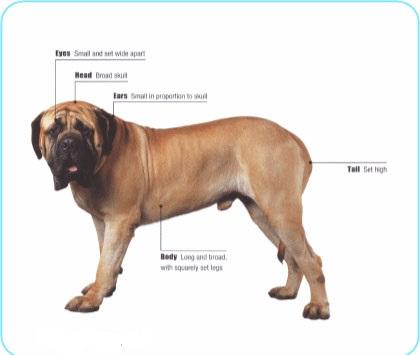 Meet the Mastiff