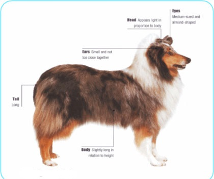 Meet the Collie breed