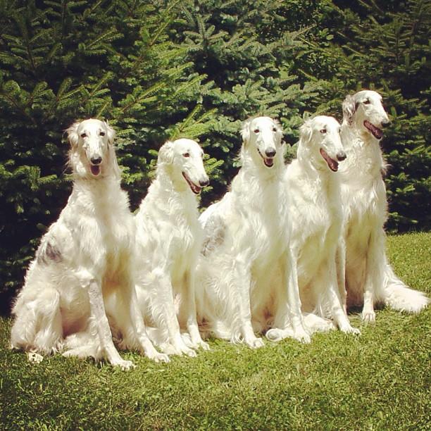 Meet the Borzoi breed