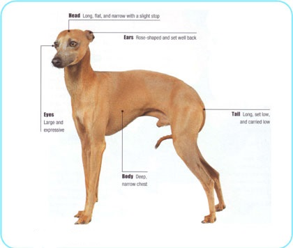 Meet the breed Italian Greyhound