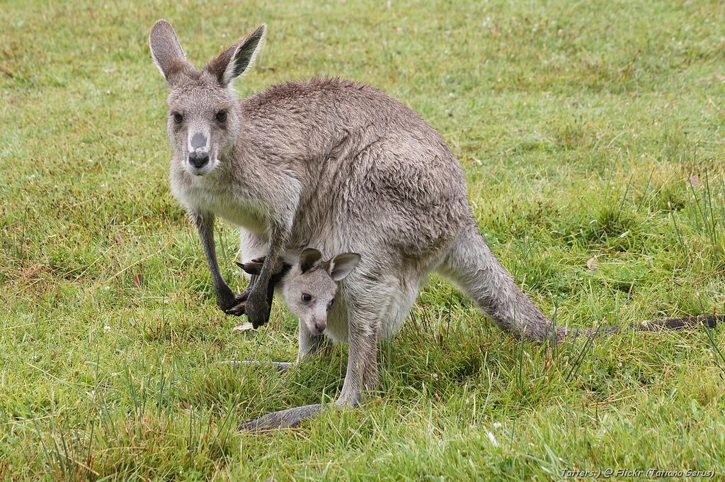 Kangaroo and a joey