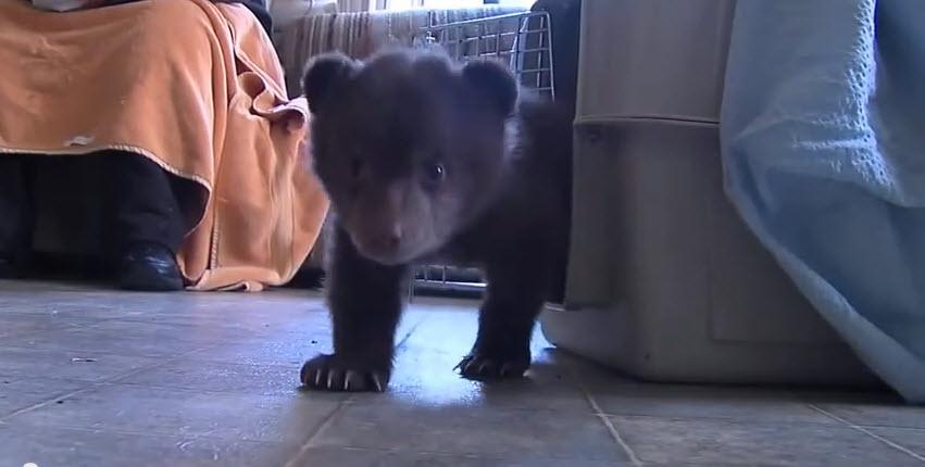 Cute 10-week old bear cub