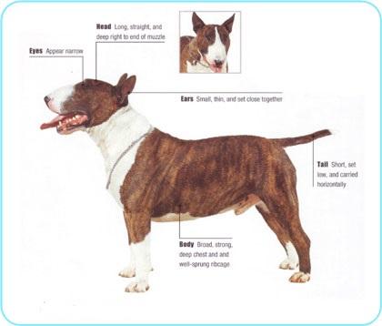 Meet the breed Bull Terrier