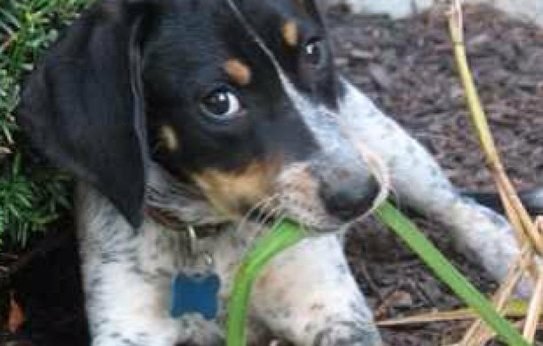 Meet the Bluetick Coonhound breed