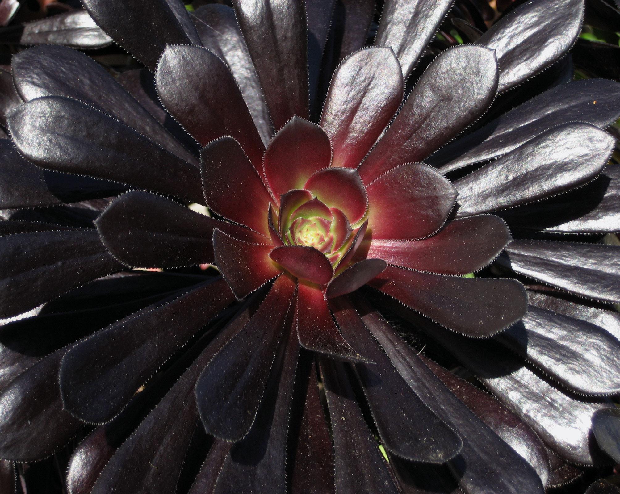 Aeonium 'Zwartkop