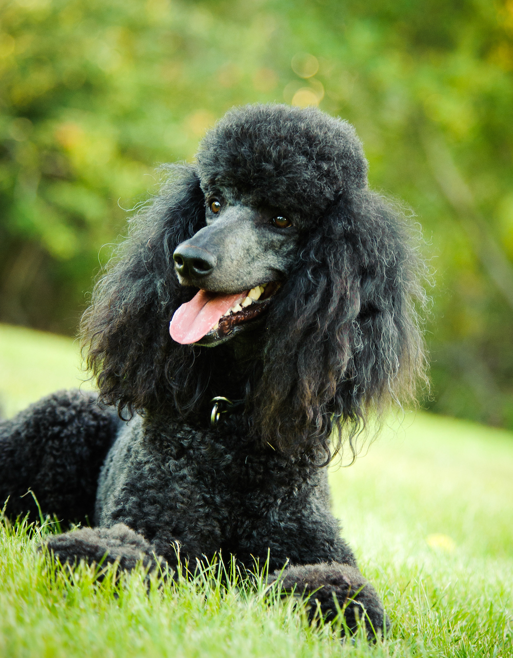 Black standard poodle sticking out tongue while resting on grassy field