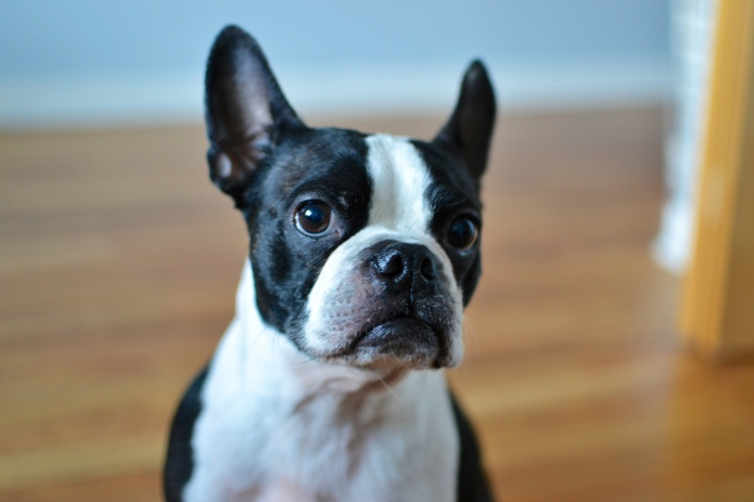 15 Things only Boston terrier owners