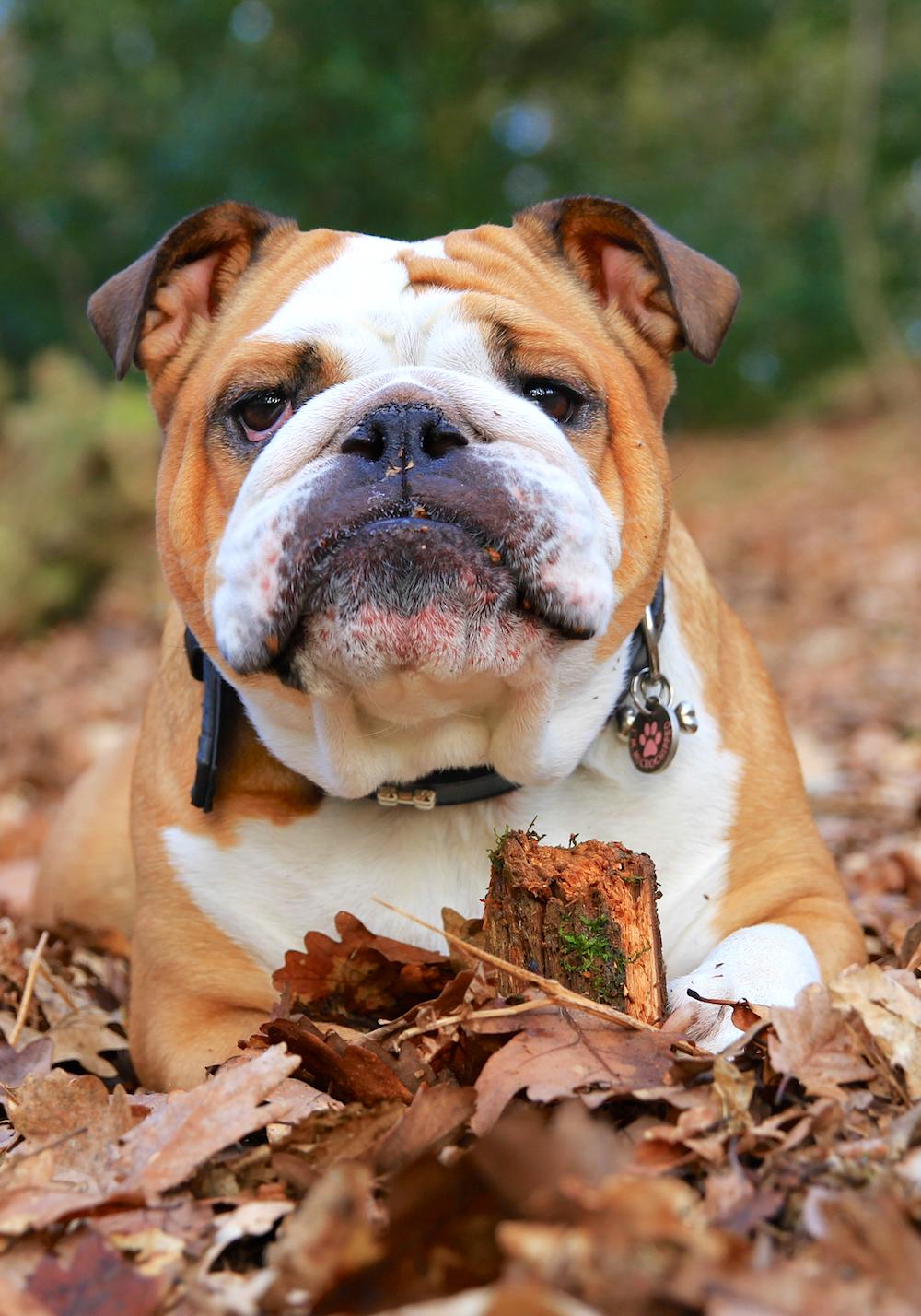 bulldog in leaves