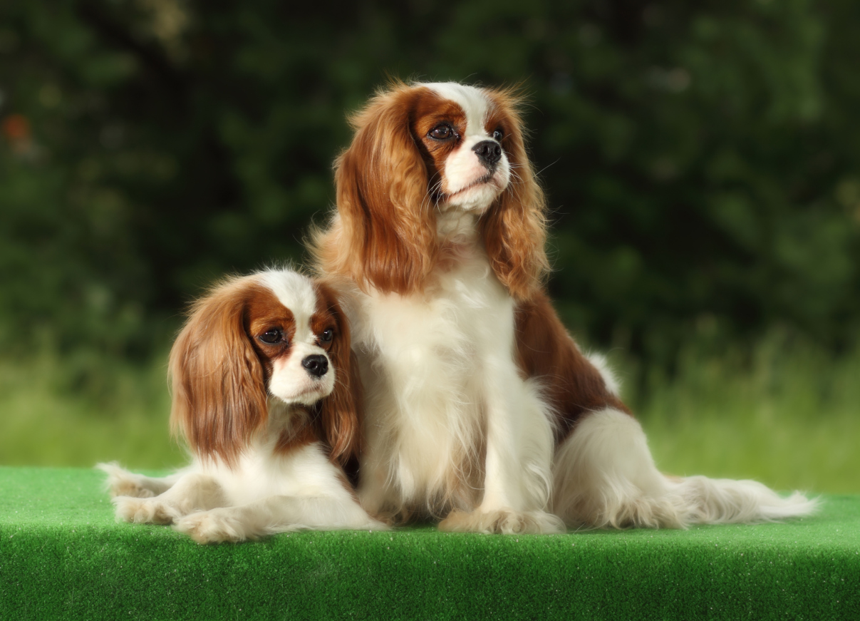 exceptional Small Cute Smart Part - 4: Cavalier King Charles Spaniel