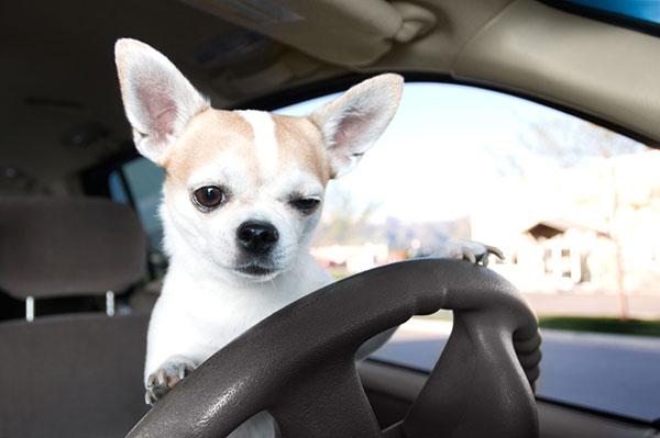 Chihuahua Driving