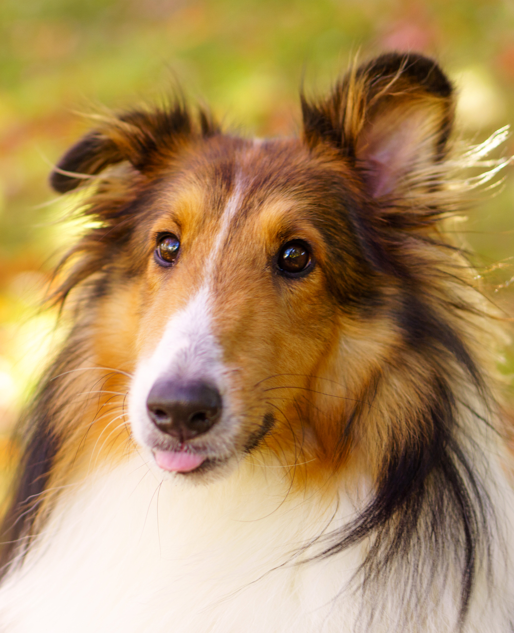 Close up of collie dog