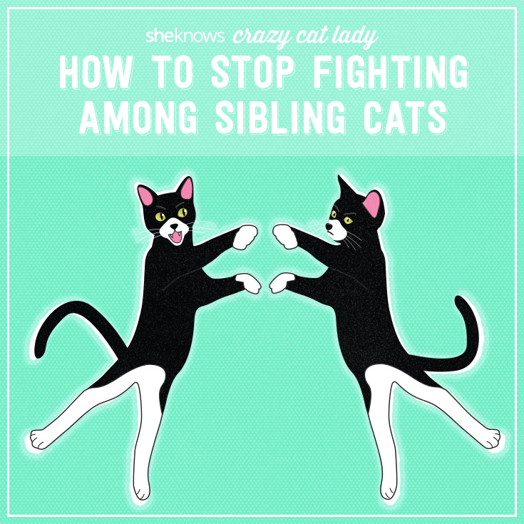 Crazy cat lady how to stop cats fighting
