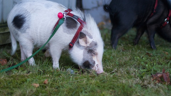 Pigs as pets are a great