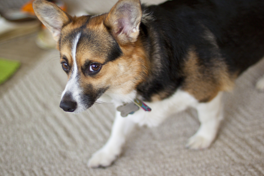 DIY doggie stain and odor remover
