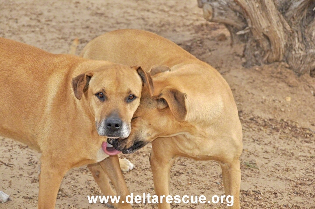 Delta Rescue dog pair Magnum and Whiskey