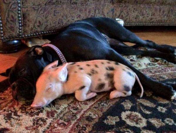 Boxer and Pig Pets