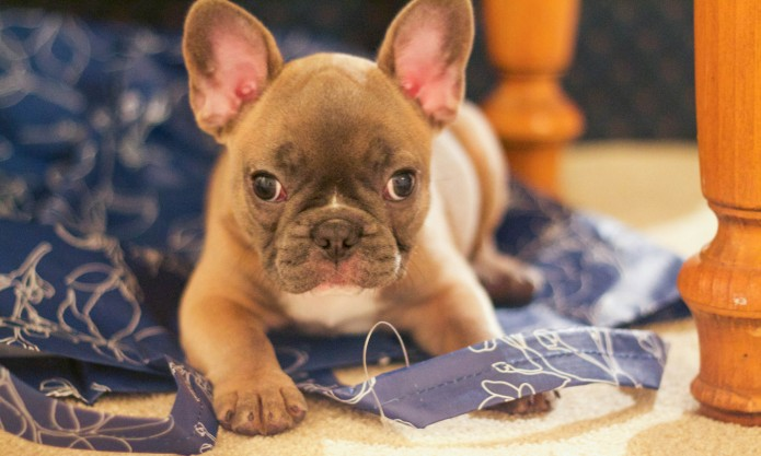 16 Things only French bulldog owners