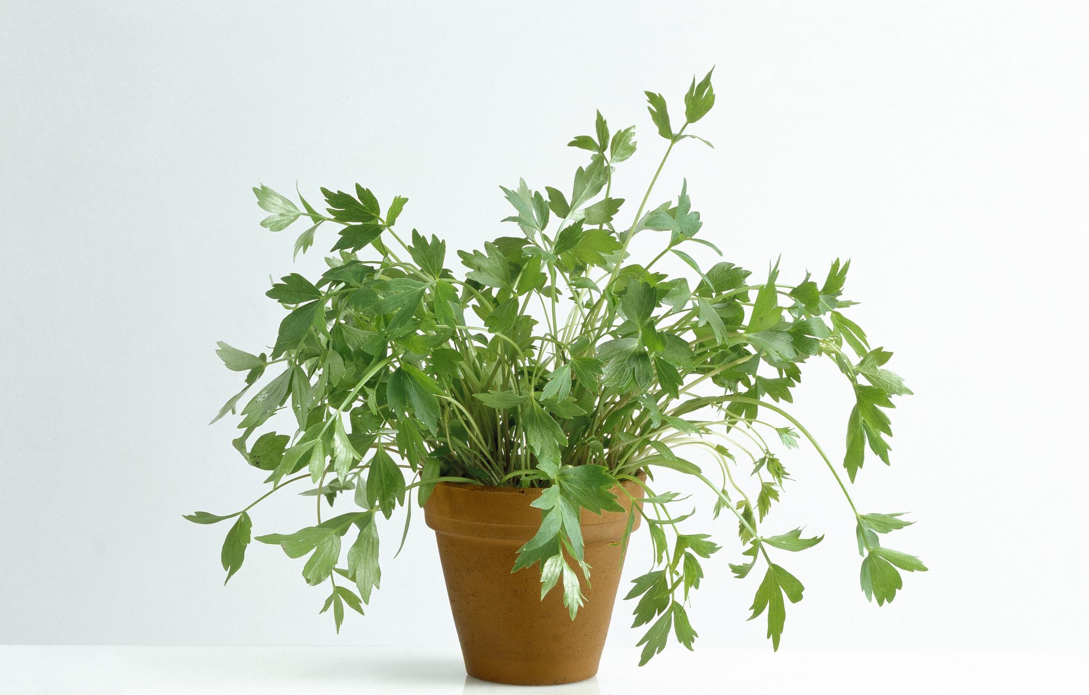 Uncommon Herbs: Lovage