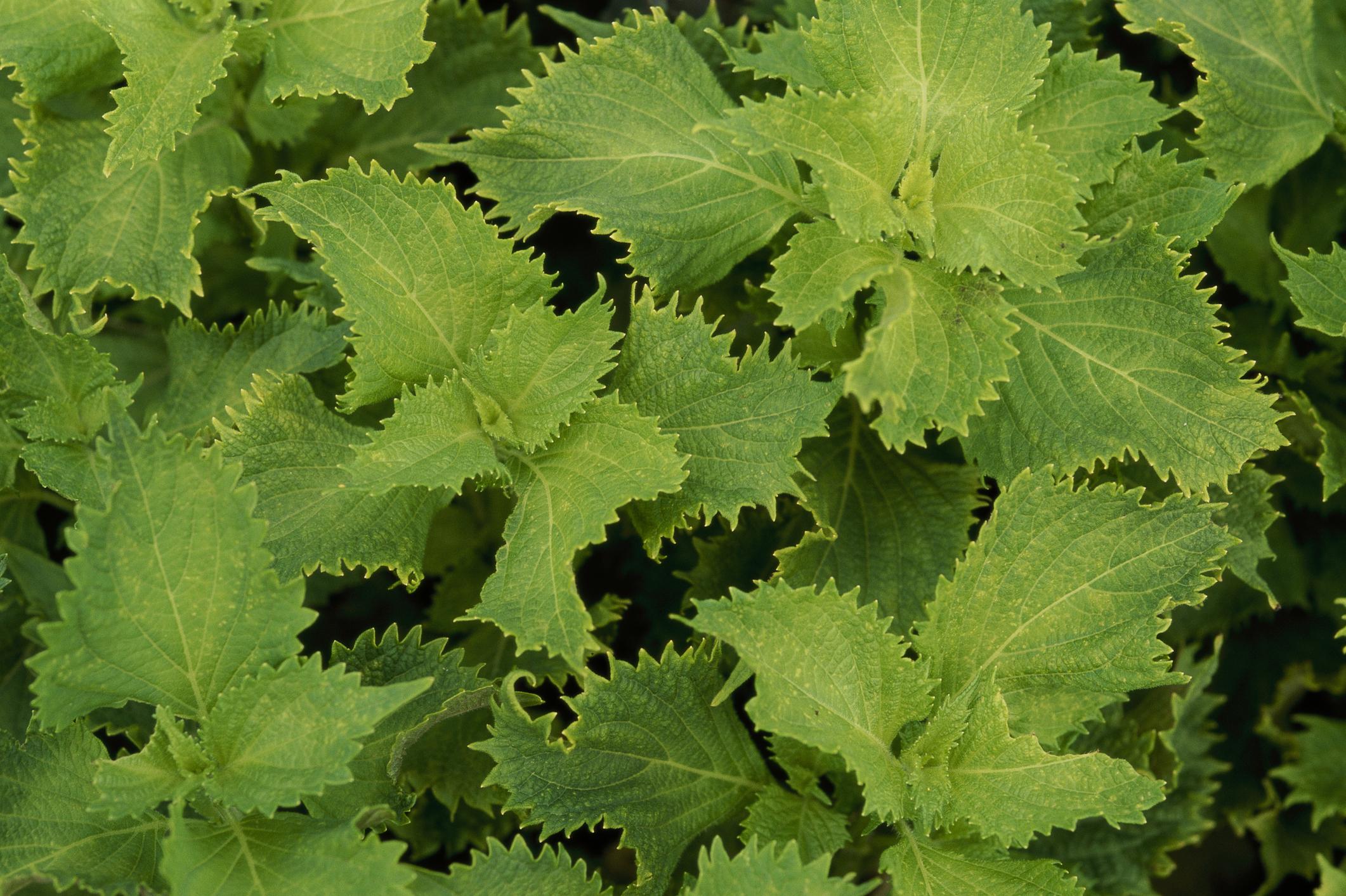 Uncommon Herbs: Shiso