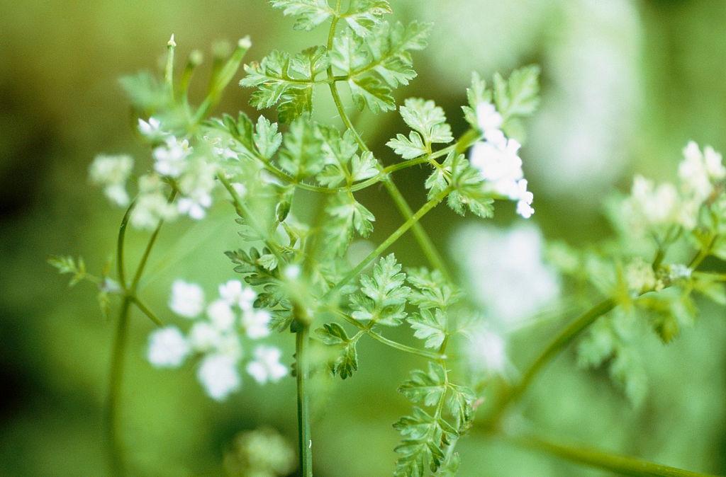 Uncommon Herbs: Chervil