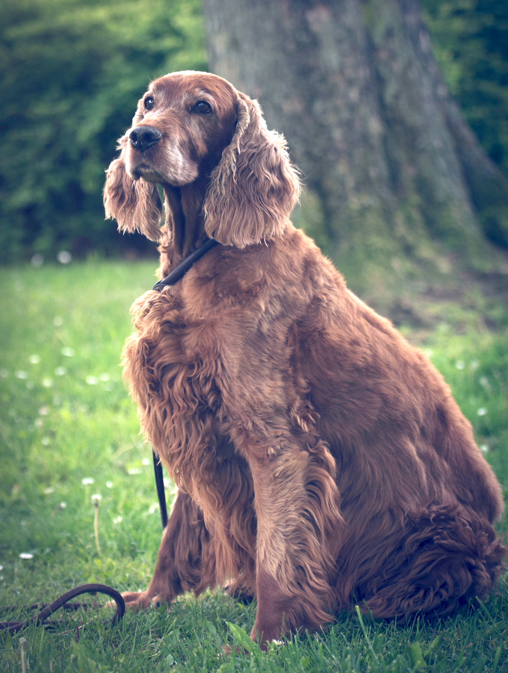 Irish setter dog sitting in park