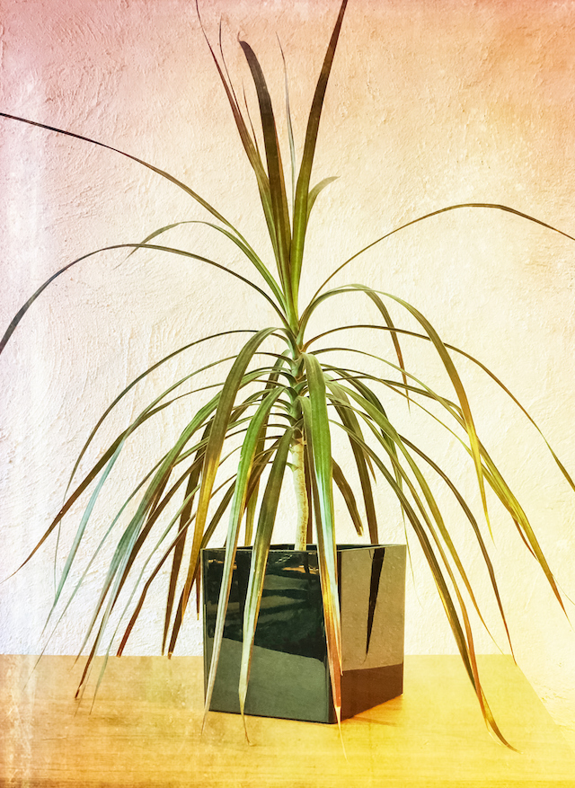 Madagascar dragon tree houseplant on a wooden dresser