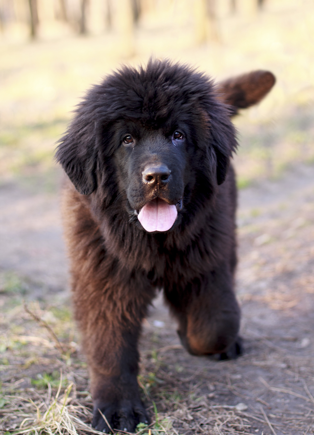 Newfoundland puppy in forest
