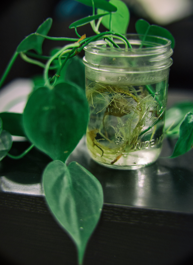Philodendron Scandens in mason jar