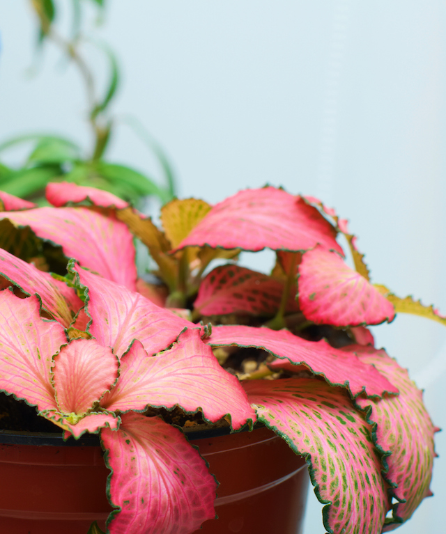 Pink Fittonia foliage houseplant