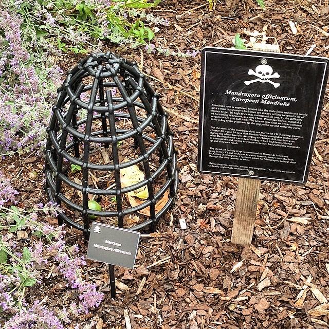 Poison Garden Mandrake