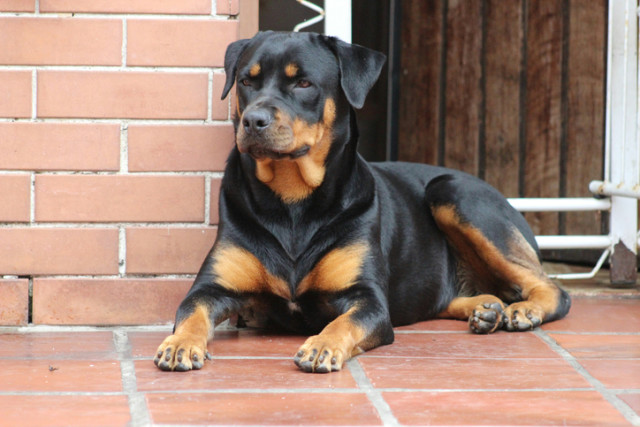 Top 10 Guard Dogs That Will Protect Your Home Better Than A Security