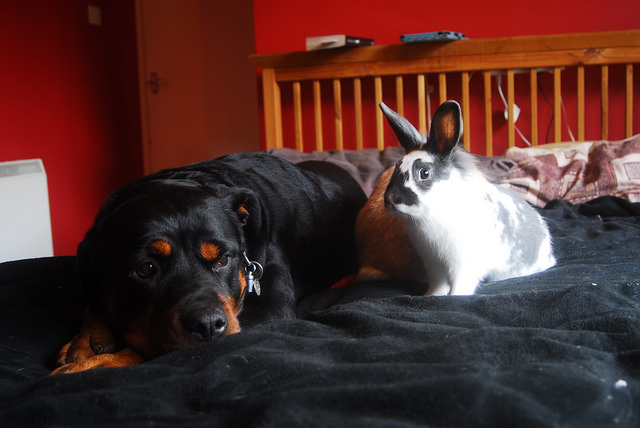 Rottweiler and bunny