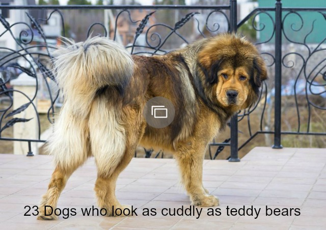 23 Dog breeds that look just as cuddly as teddy bears