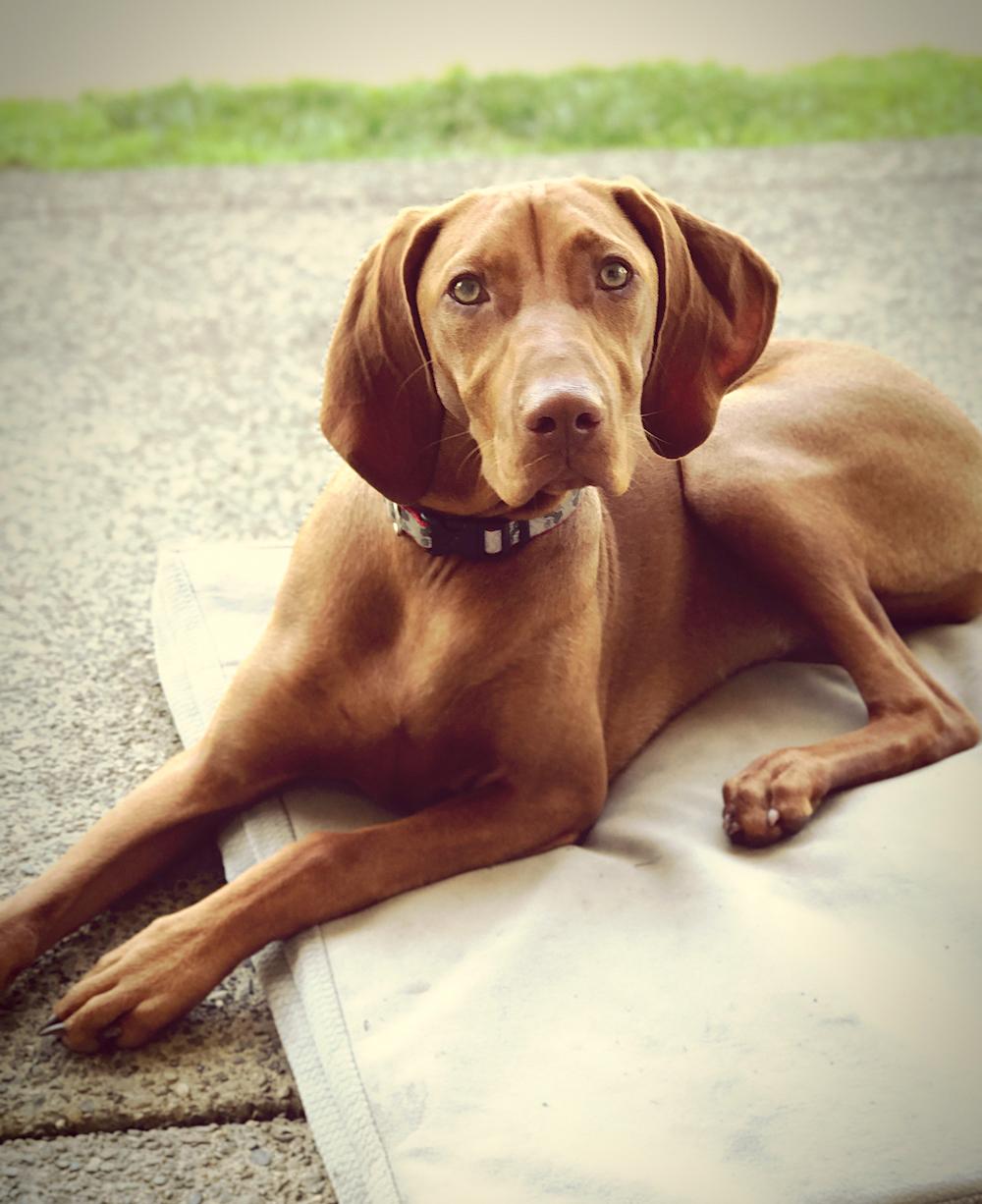 Vizsla puppy on dog bed