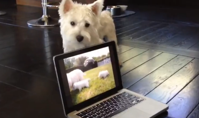 Westie gets adorably confused watching dogs