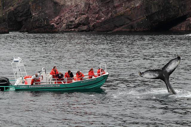 Newfoundland Whale Watching