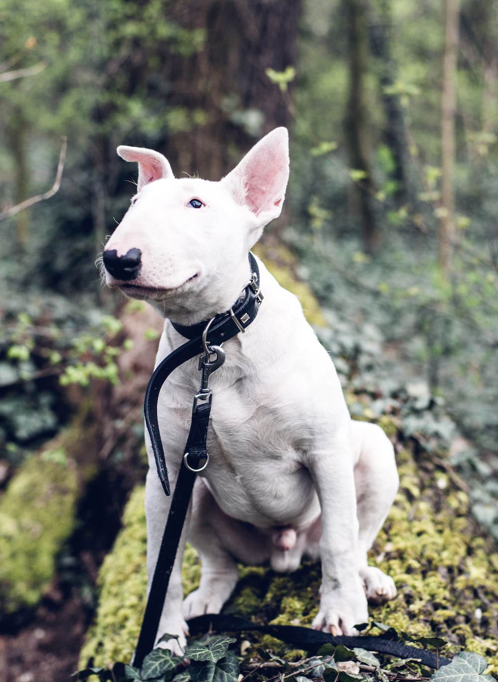 White bull terrier dog on leash sitting on tree trunk looking up