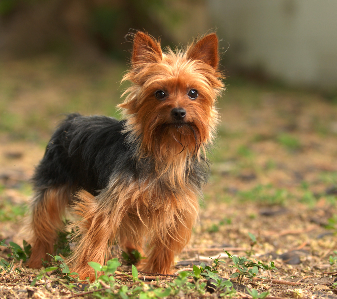 marvelous Small Cute Smart Part - 6: 1. Yorkshire terrier