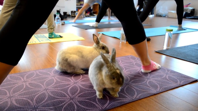 Bunny yoga may be the motivation